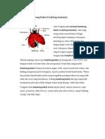 Anatomi Kumbang Koksi
