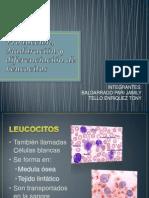 Producción, Maduración y diferenciación de Leucocitos