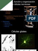 Sistema nervioso, clasificación neuronal, sinapsis e impulso nervioso