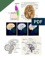Cerebro Partes y Areas