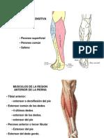 La pdf de musculatura pierna