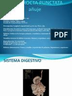 dayprocta puntacta presentacion
