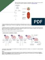 La glicolisis o glucólisis es una vía metabólica que forma la primera etapa en la respiración celular