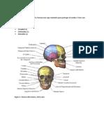 Guía Huesos y Musculos de la Cabeza ALUMNOS