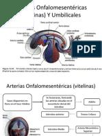 Arterias Onfalomesentéricas (vitelinas) Y Umbilicales