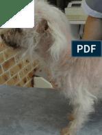 Canine Cushings Disease (Dog Hyperadrenocortisicm)