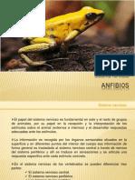 Anfibios_sistema_nervioso.pptx