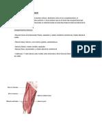 Miologia Miembro Inferior