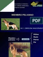Anatomia Miologia MIEMBRO PELVIANO 2008