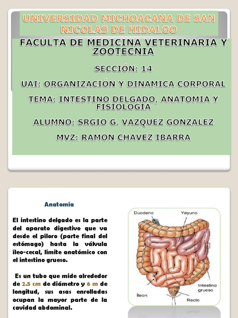 Intestino Delgado, Anatomia y Fisiologia