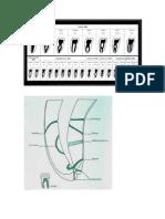 Anatomía Endodóntica.docx