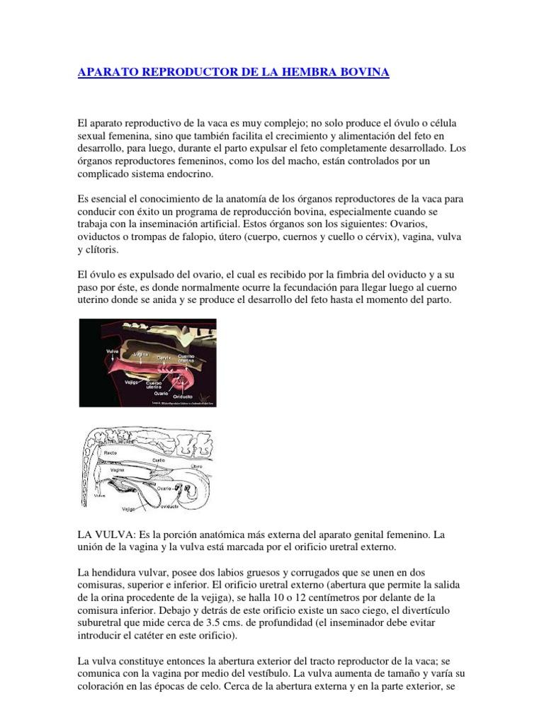 Vistoso Anatomía Reproductiva Ovejas Viñeta - Imágenes de Anatomía ...