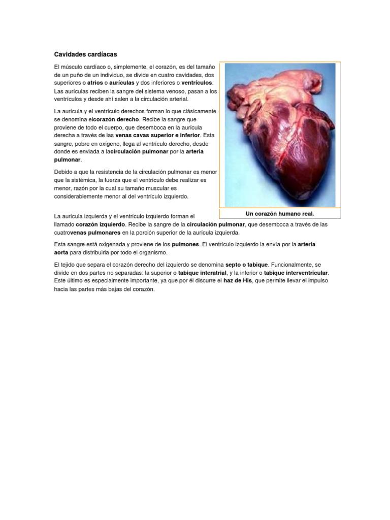 Asombroso Las Partes Del Corazón Modelo - Imágenes de Anatomía ...