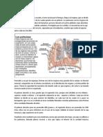 Pulmones y Pleura