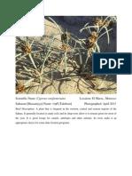 Cyperus Conglomeratus