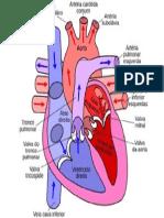 Imagens Do Sistema Cardiovascular