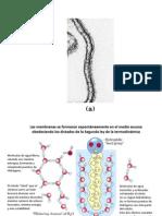 Las membranas biológicas y transporte
