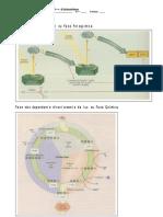 Ficha Informativa Fotossíntese