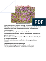 Busuioc Salbatic-Prunella Grandiflora