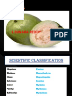 Guava Production Sereddy