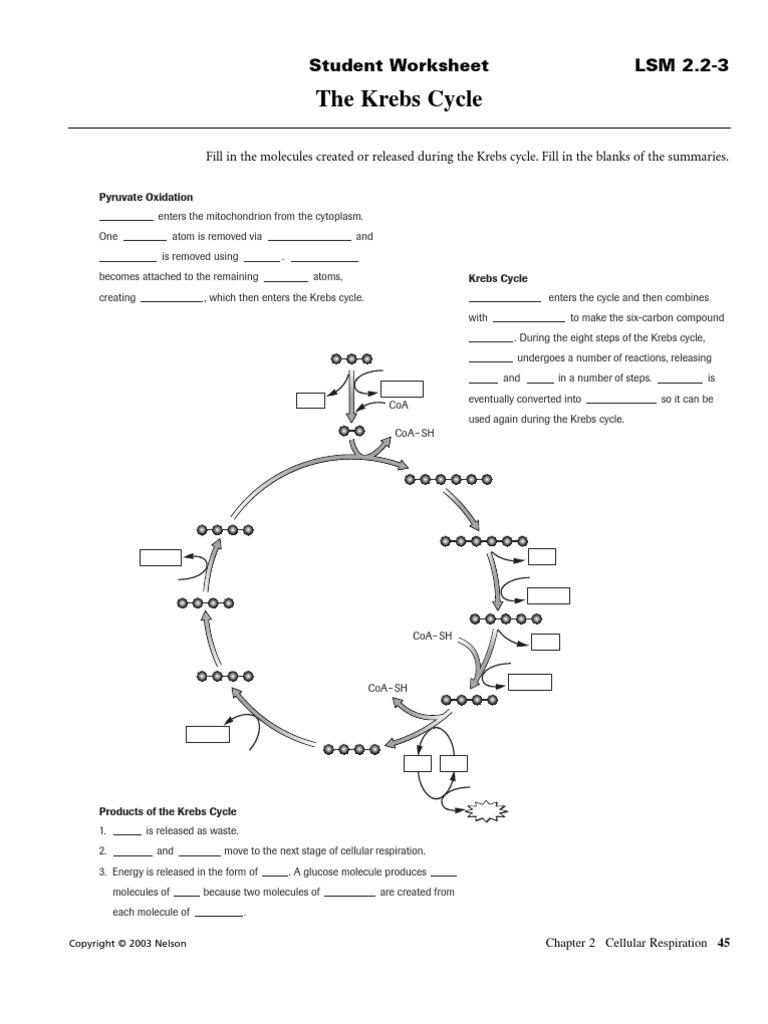 worksheet Krebs Cycle Worksheet krebs cycle