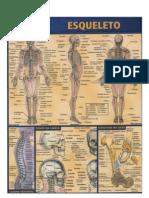 Resumão - Anatomia 01 - Esqueleto Humano