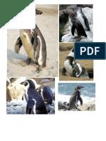 El Pinguino de Humboldt