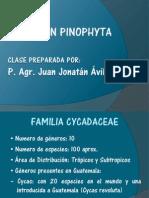 División Pinophyta