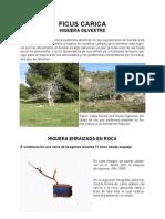 Ficus Carica Bonsai
