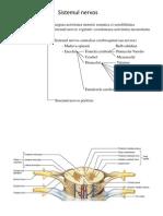 Maduva Spinarii Trunchiul Cerebral Cerebel