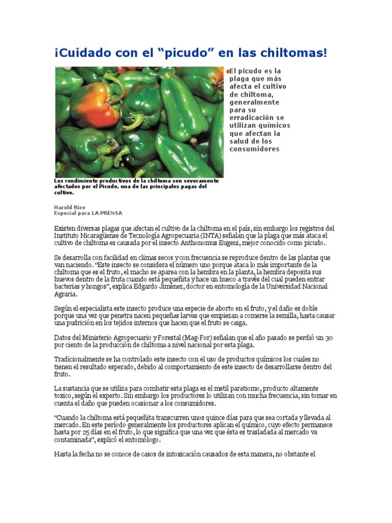 Picudo Insectos Plaga Organismo