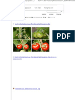Fotos Der Tomatensorte Ananasove Zlte - Solanum Lycopersicon L