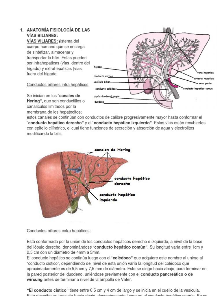 Lujo Hígado Y Conducto Biliar Anatomía Regalo - Imágenes de Anatomía ...