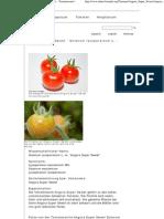 Angora Super Sweet - Solanum Lycopersicum Mill