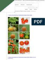 Fotos Der Tomatensorte Angora Super Sweet - Solanum Lycopersicon L