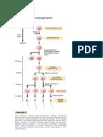 Mekanisme Spermatogenesis