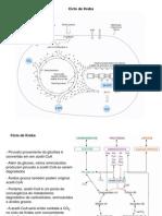 Metabolismo de Carboidratos II - Ciclo de Krebs 3