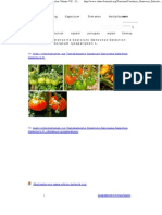Fotos Der Tomatensorte Costoluto Genovese Selection Valente v.F