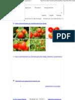 Fotos Der Tomatensorte de Colgar - Solanum Lycopersicon L