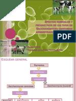 Efectos Ruminales y Productivos de Cultivos de Saccharomyces