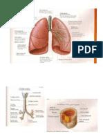 Anatomia Pulmon