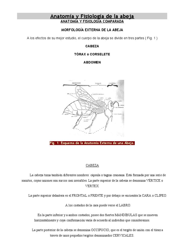 Lujoso La Miel De Abeja La Anatomía Y La Fisiología Festooning ...