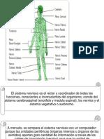 El Sistema Nervioso Es El Rector y Coordinador de Todas Las Funciones