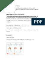 Musculos PIERNAS