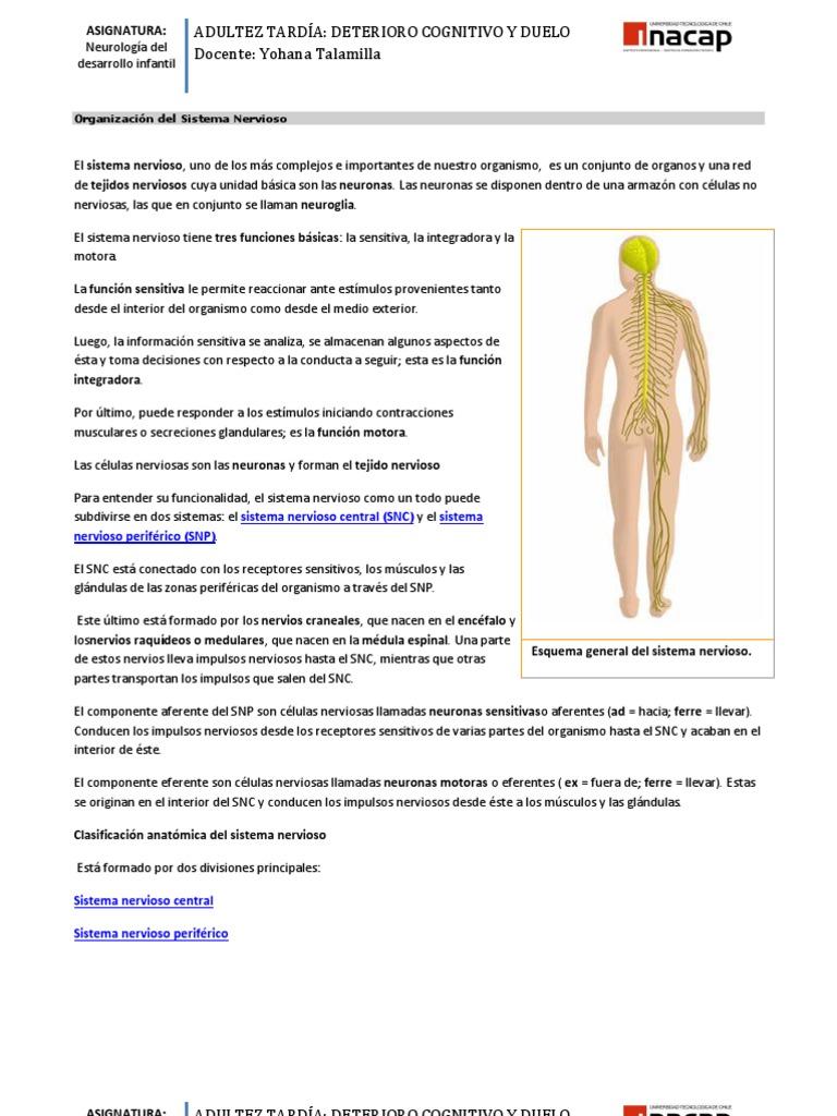 Excelente Anatomía De La Célula Nerviosa Molde - Imágenes de ...