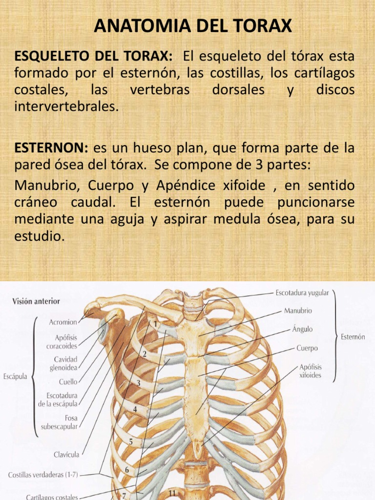 Anatomia Torax I