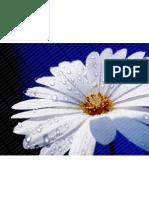 flower-daisy