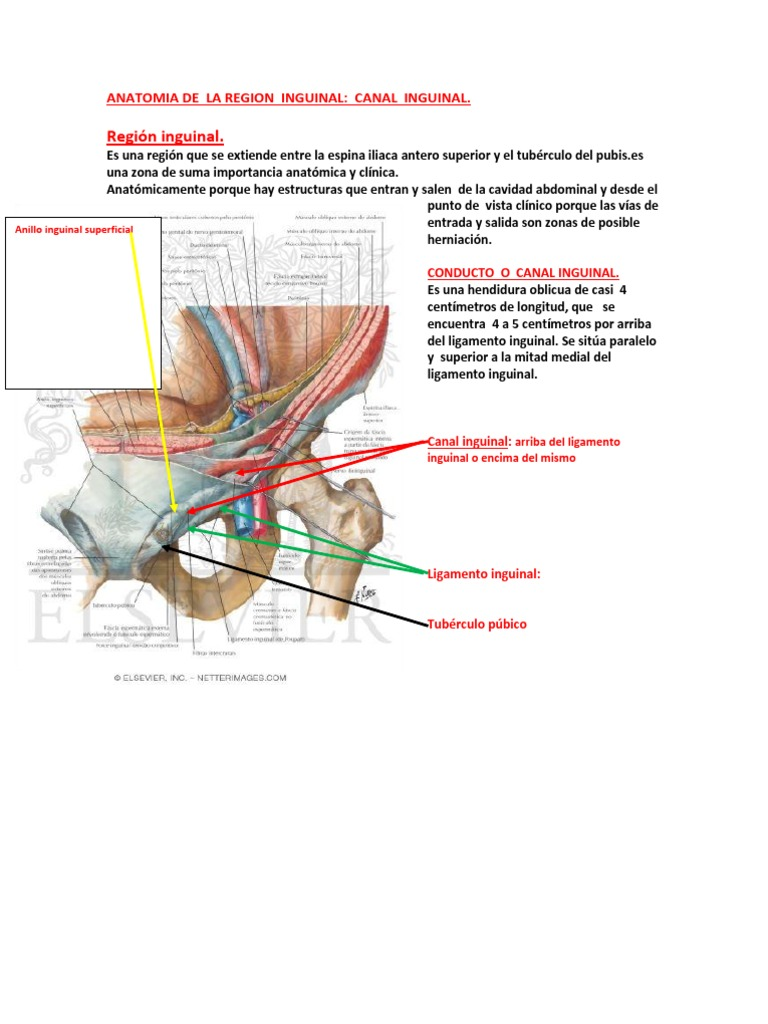 Anatomia de La Region Inguinal