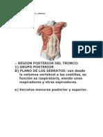 Músculos del tronco 3