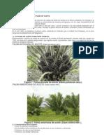 Cultivo de La Palma Aceitera